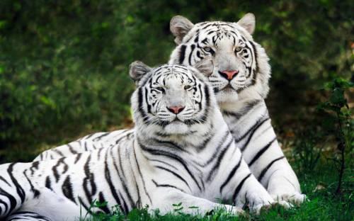 Пара белых тигров